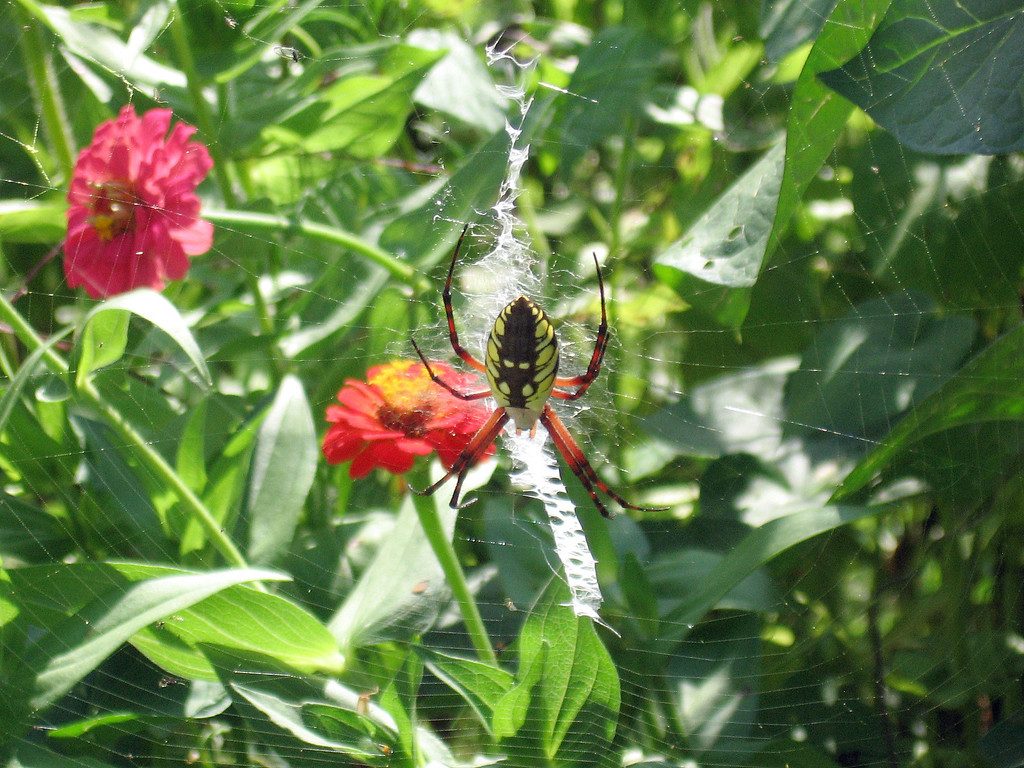A large garden spider in the Zinnia flower patch.