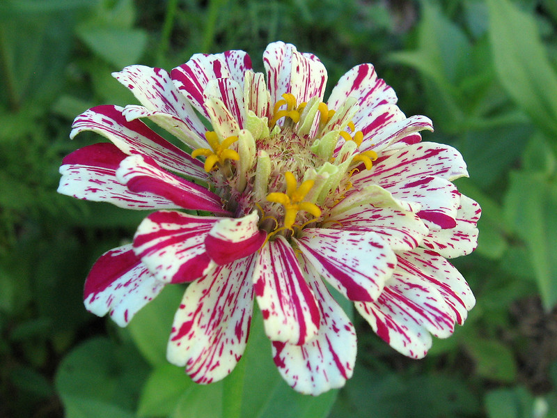 Peppermint striped zinnia.
