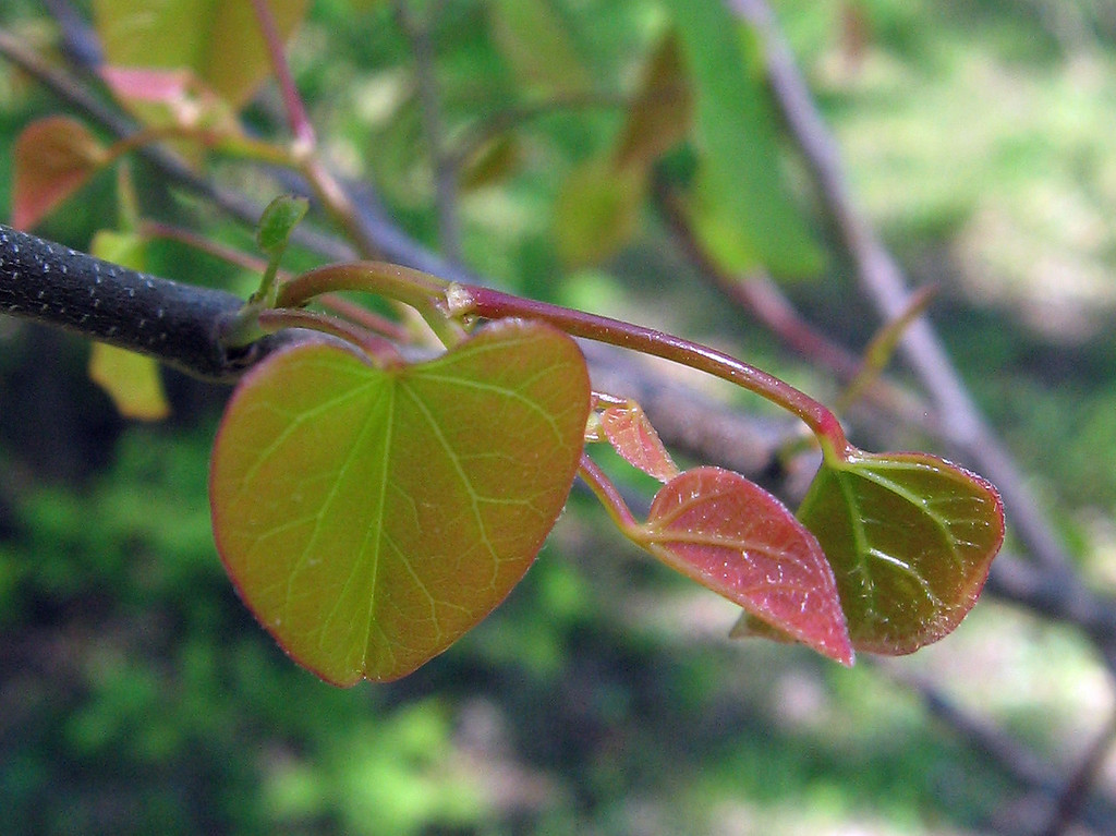 The new leaves on the Forest Pansy red bud tree.