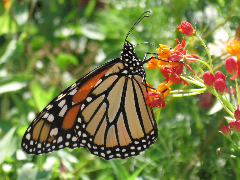 Monarch butterfly on asclepias.