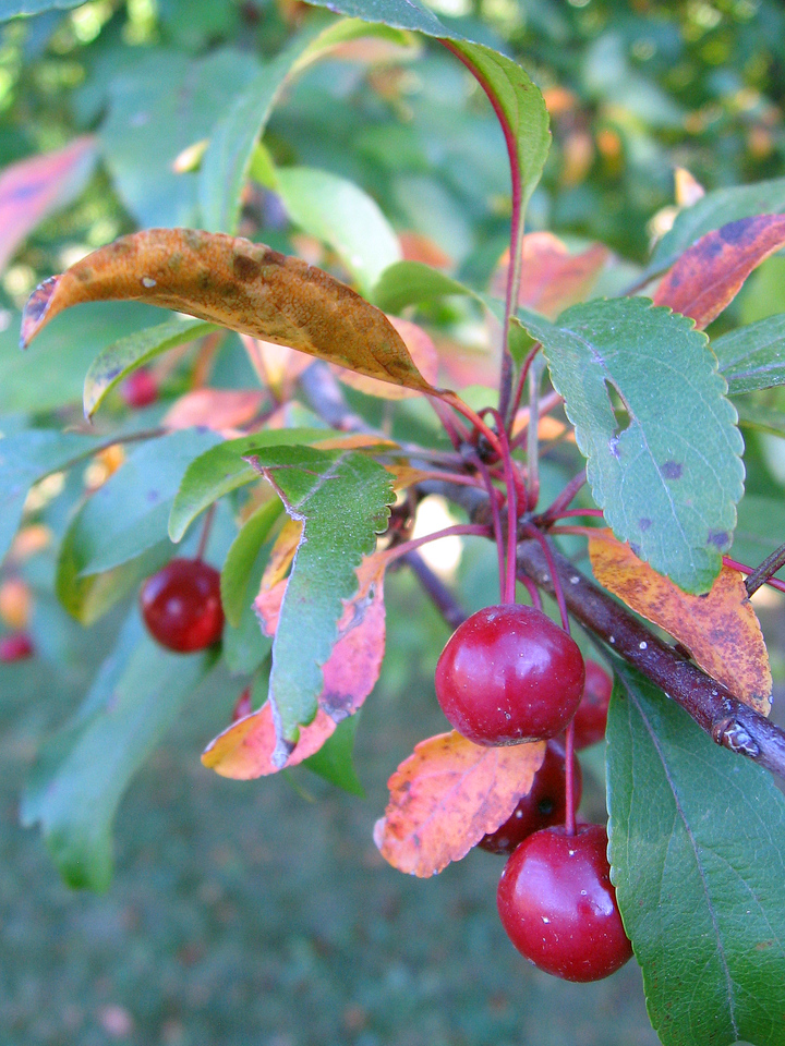 Crab apples in fall.