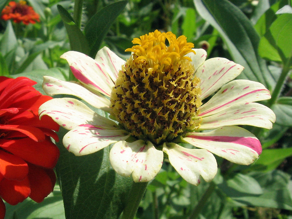 The center of this zinnia kind of looks like a pineapple.