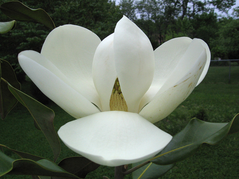 "The flower of our newest magnolia - ""Bracken's Brown Beauty"""