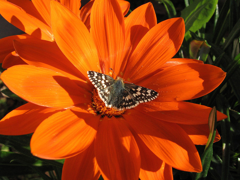 Orange Gazania and small butterfly in mid-November.