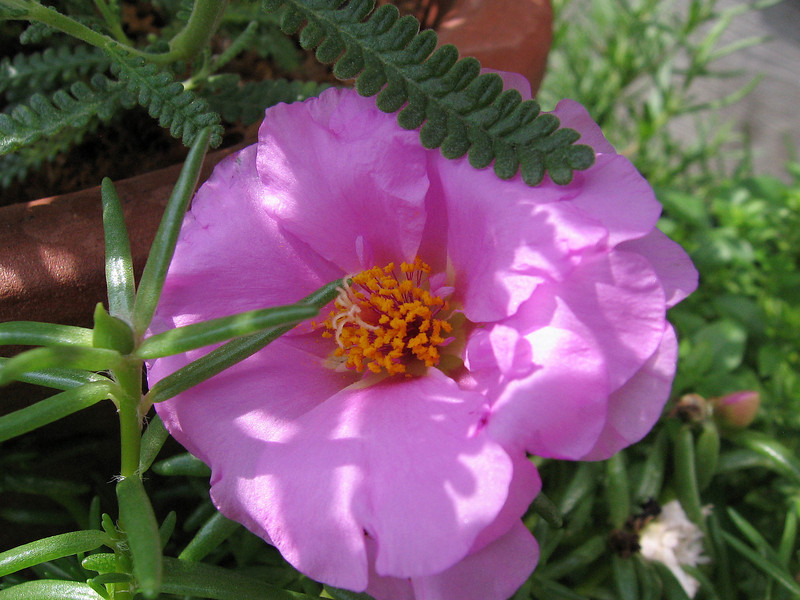 Moss rose behind the French lavender.