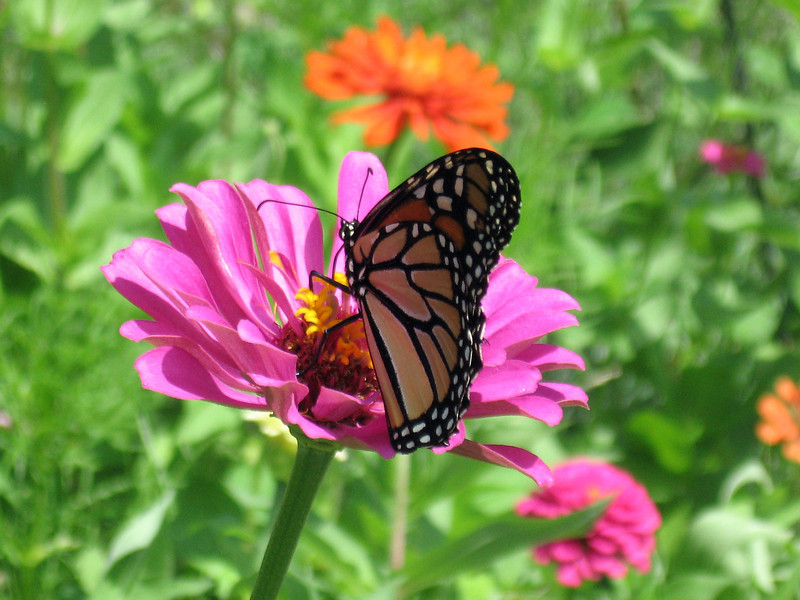 Monarch butterfly on the pink zinnia.
