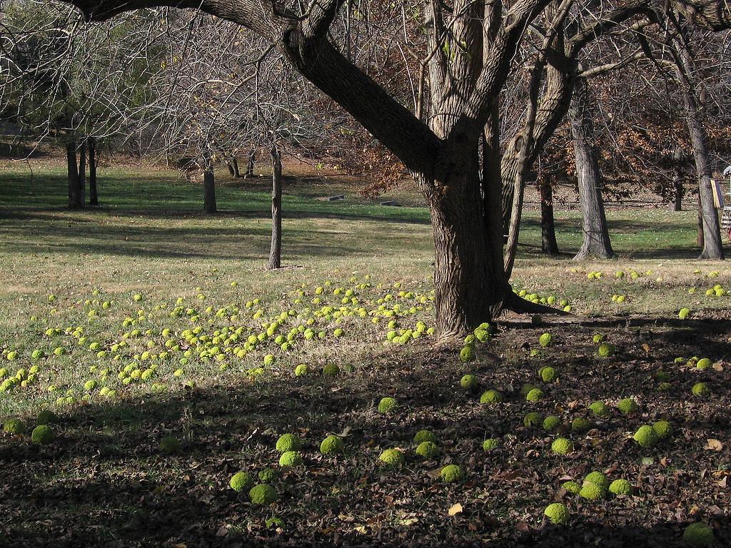 Osage Orange tree or Hedge Apple tree in the back yard in mid-November.