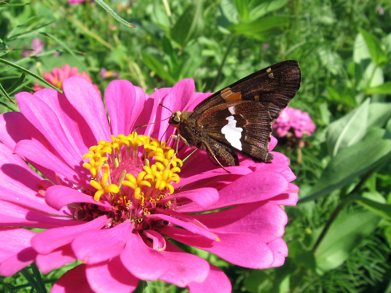 Silver-Spotted Skipper on the pink zinnia.