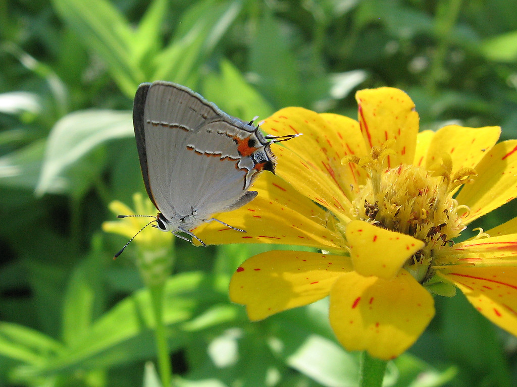 """This little butterfly is made to look like its back end has eyes and antennae. <br /> The """"fake"""" antennae are always moving as if they were the """"real"""" ones."""