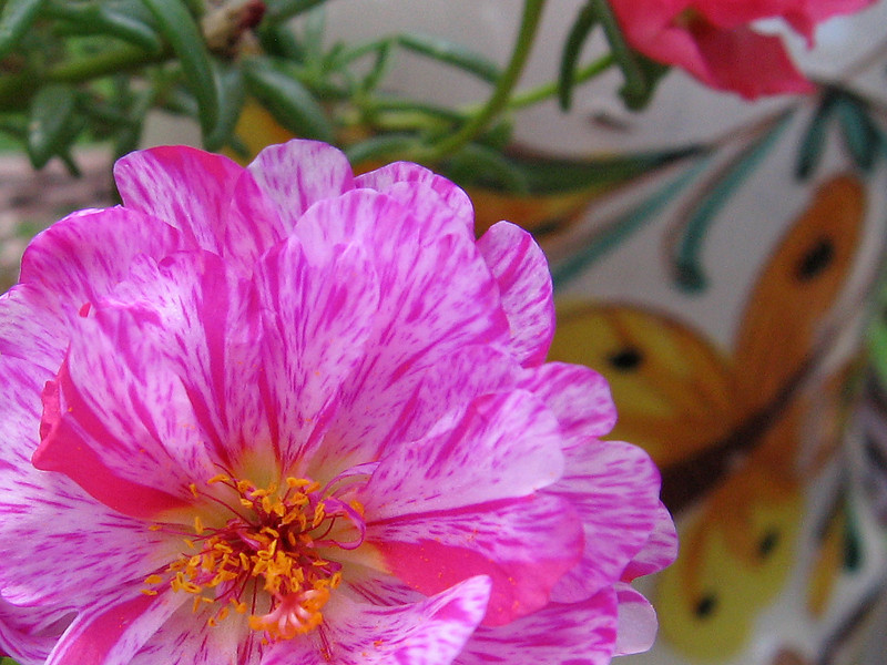Moss rose and painted pot.