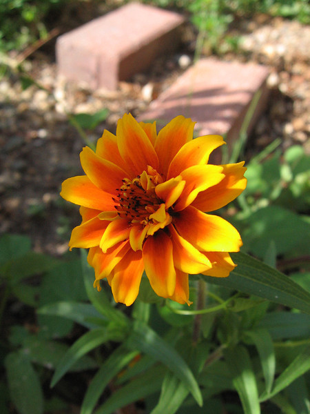 Orange Zinnia and red bricks on a sunny day.
