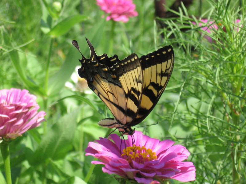 Yellow swallowtail butterfly on a pink zinnia.