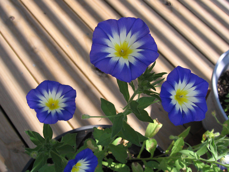 The bush morning glory that Becky planted from seed and shadows on the deck.