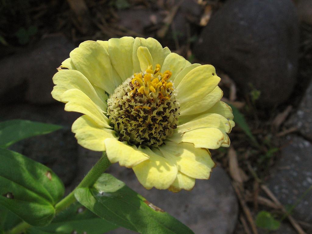 Yellow Zinnia in the fall.