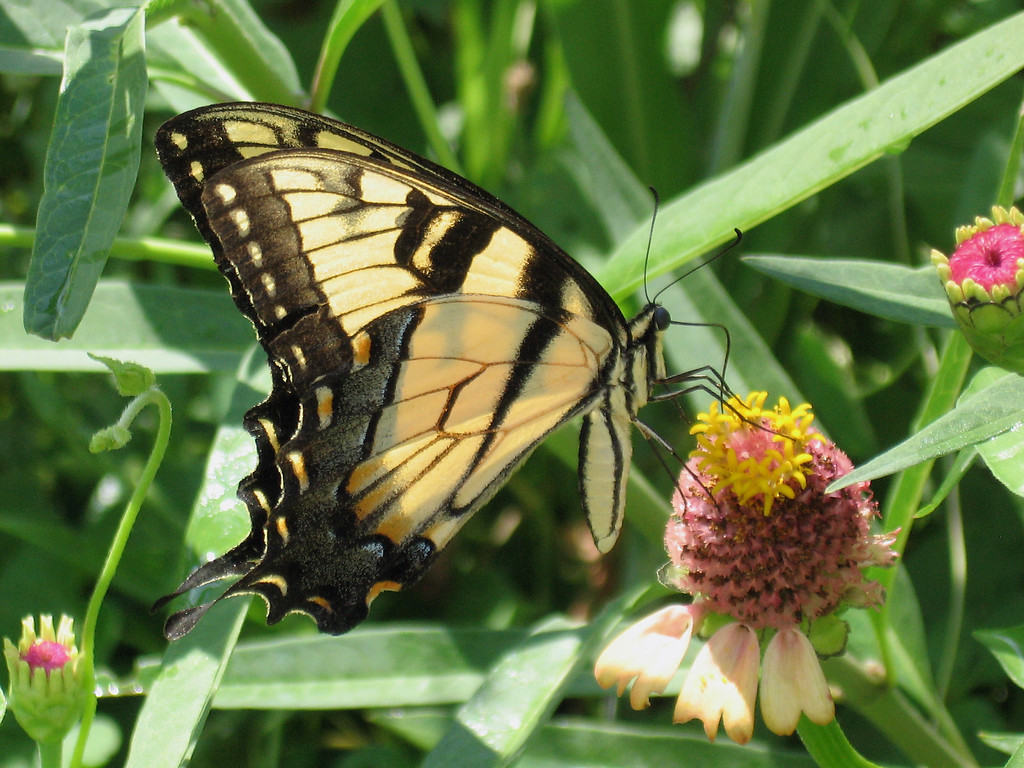 Yellow swallowtail butterfly.