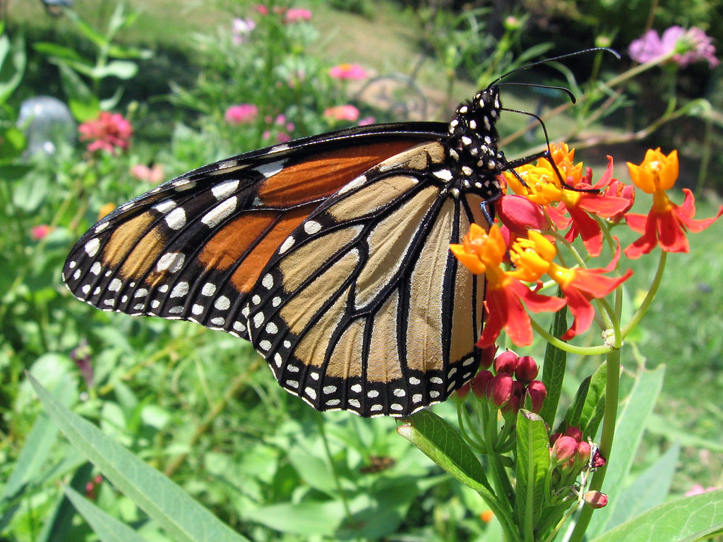 Monarch butterfly on the asclepias flowers.<br /> This picture isn't very straight but I liked it anyway.