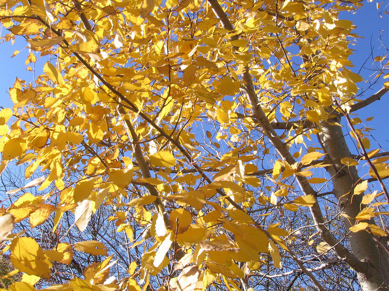 Yellow foliage of the Big Tooth Aspen tree in November.