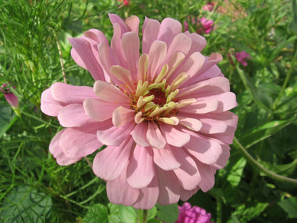 Pink zinnia.
