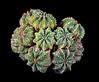 Aztekium ritteri cactus.