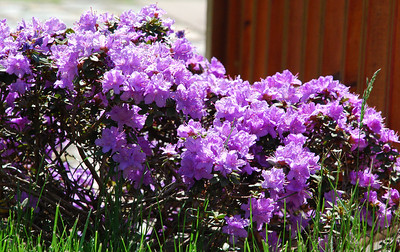 2011 06 05: Flowers, Herbs, Vegs, Deck, Landscaping @ Home