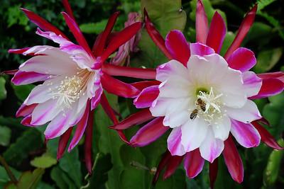 20111122_0829_5496 epiphyllum