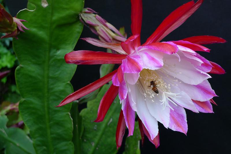20111129_0741_5716 epiphyllum