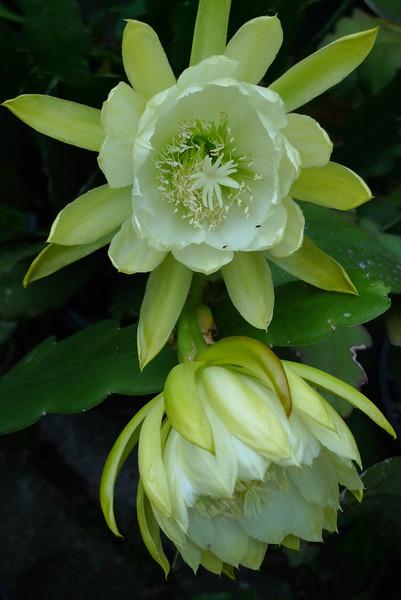 20111125_1916_5675 epiphyllum