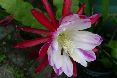 20111127_0742_5684 epiphyllum