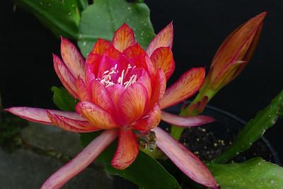 20111122_0706_5439 epiphyllum