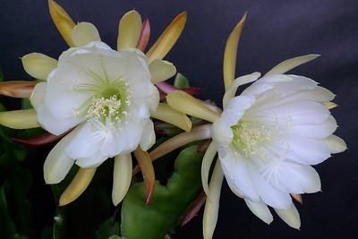 20111120_1905_5171 epiphyllum