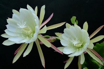 20111120_0623_5044 epiphyllum