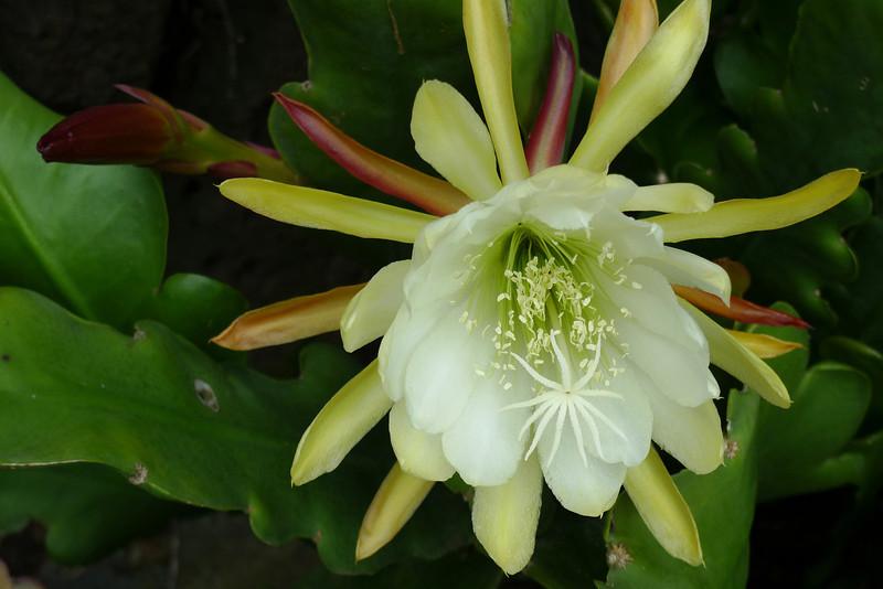 20111122_1047_5513 epiphyllum