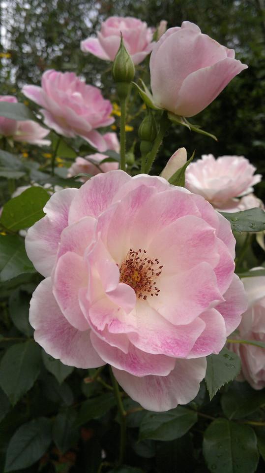 20111106_1746_017 rose