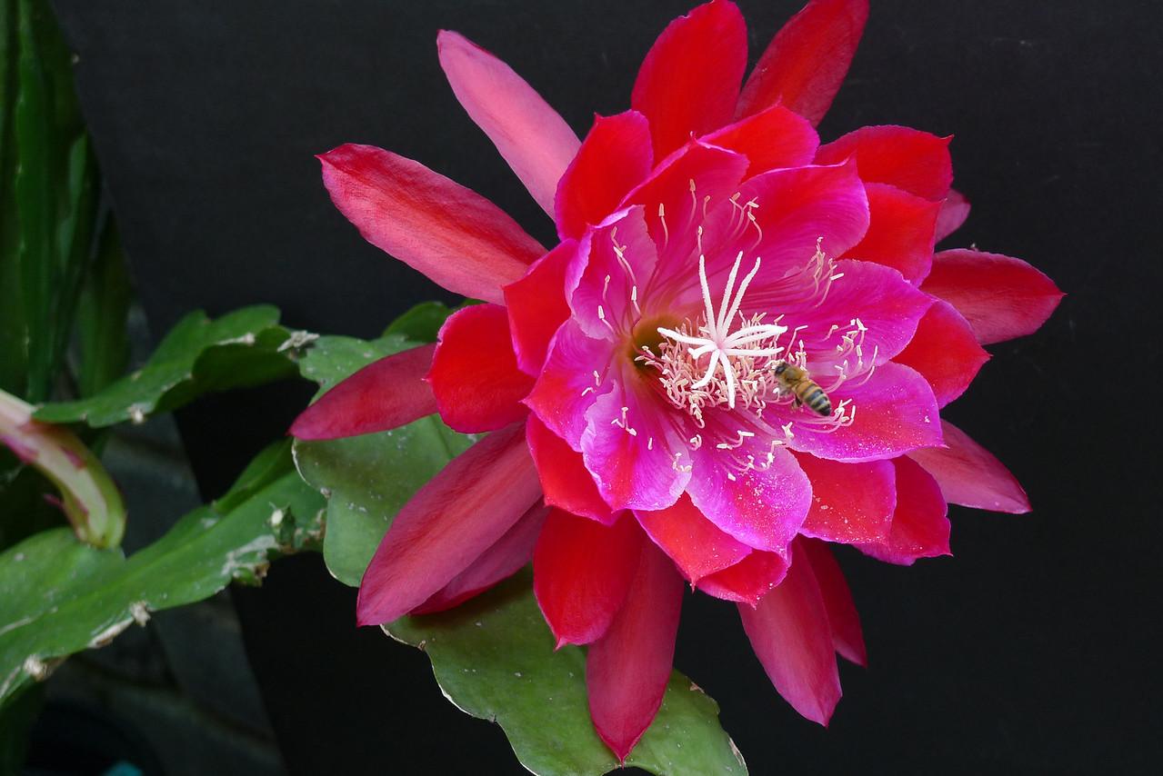 20111129_0745_5723 epiphyllum