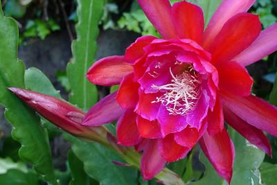 20111123_0736_5559 epiphyllum