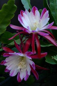 20111121_0653_5186 epiphyllum