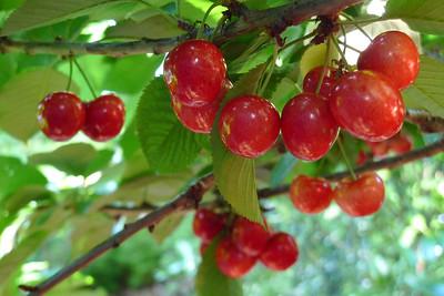 20111125_0713_5639 cherries