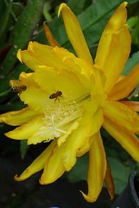 20111122_0732_5487 epiphyllum