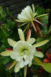 20111121_0906_5303 epiphyllum
