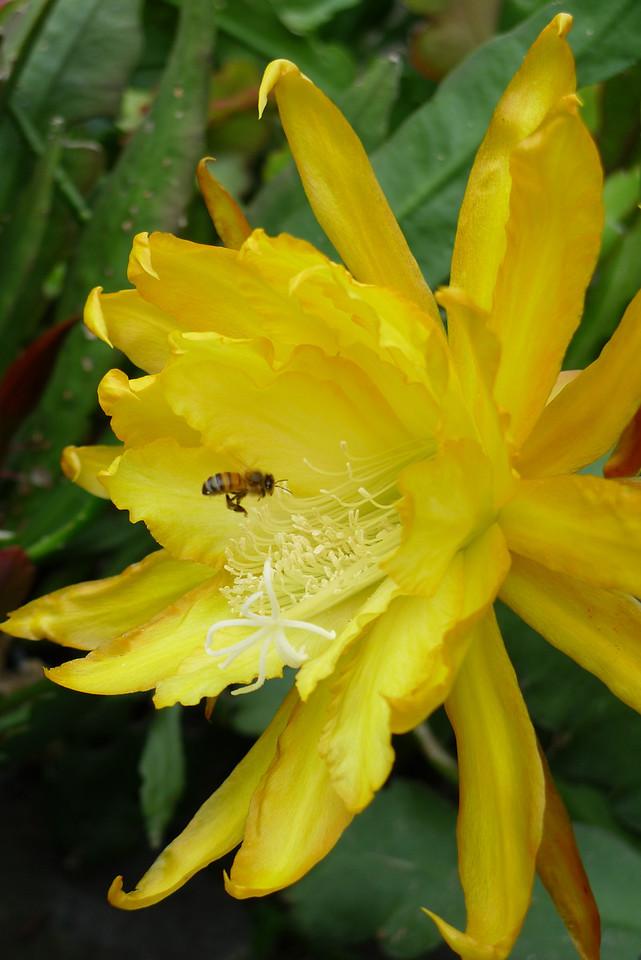 20111122_0730_5480 epiphyllum