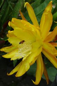 20111122_0734_5491 epiphyllum