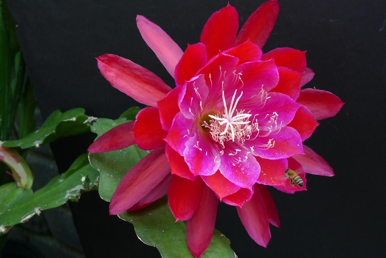 20111129_0745_5722 epiphyllum