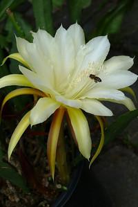 20111121_0837_5256 epiphyllum
