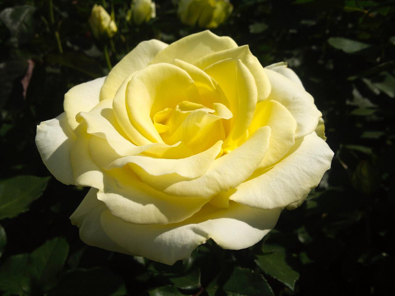 20111020_021 rose