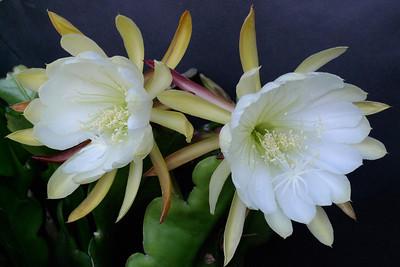 20111120_1907_5174 epiphyllum
