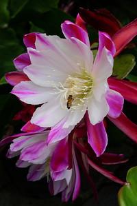 20111121_0833_5247 epiphyllum