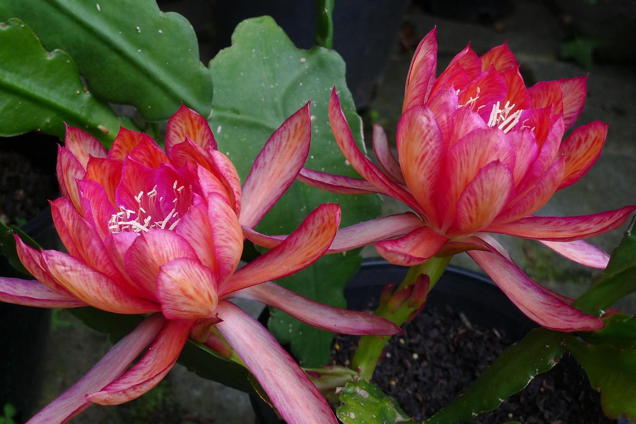20111123_0628_5544 epiphyllum
