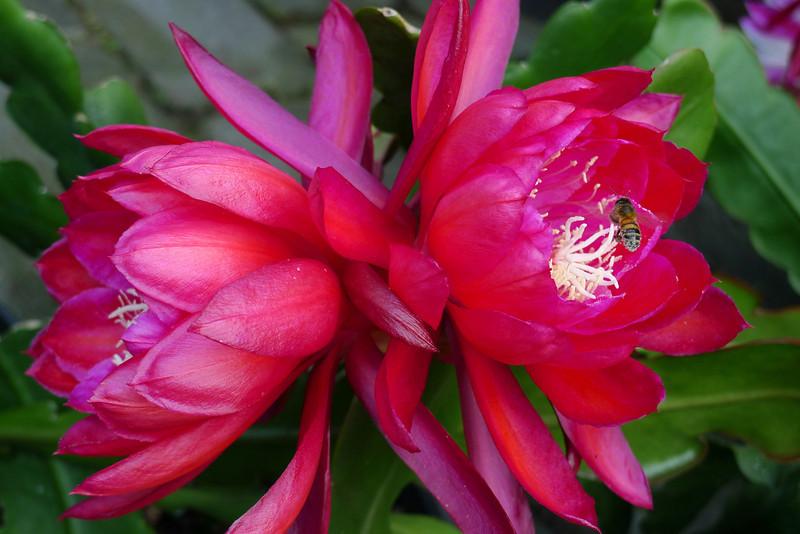 20111121_0840_5261 epiphyllum