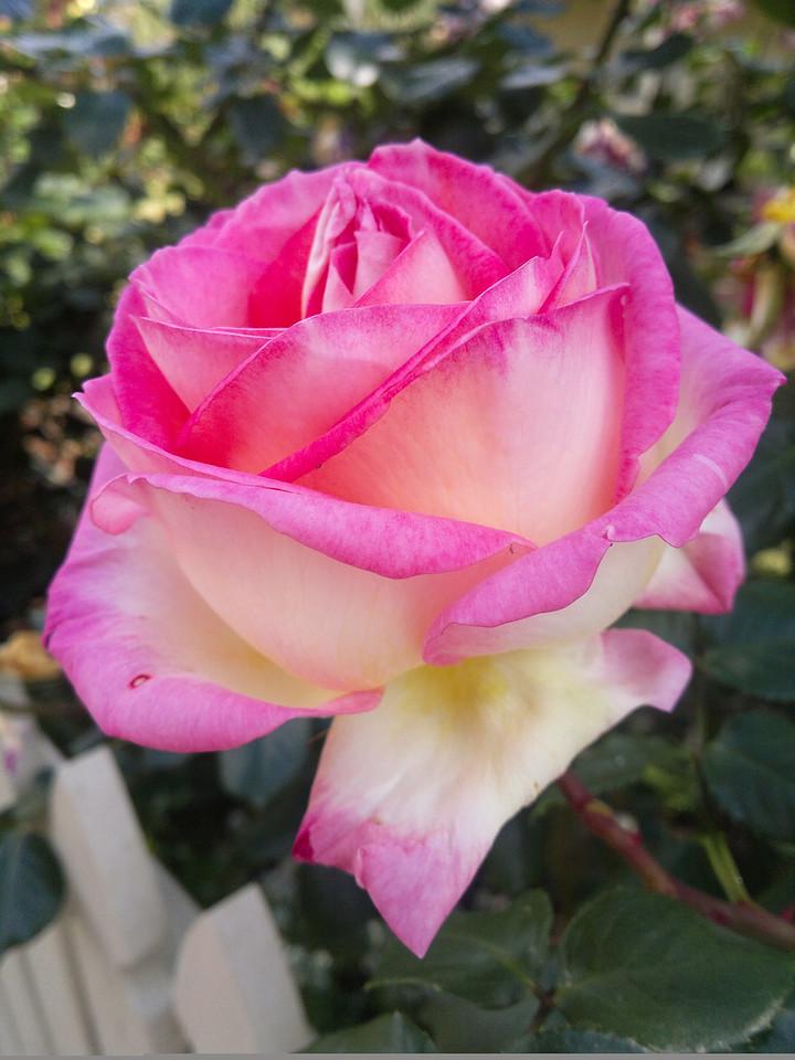 20111020_20 rose