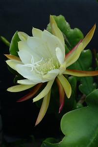 20111129_0733_5711 epiphyllum